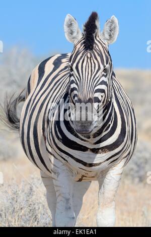 Le zèbre de Burchell (Equus burchelli), debout dans l'herbe sèche, Etosha National Park, Namibie, Afrique Banque D'Images