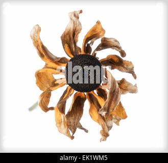 Rudbeckia flétries, série DB 1 de 3 Banque D'Images
