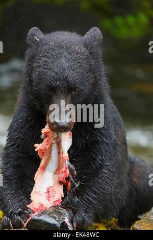 L'ours noir à l'écloserie de la baie les Neets Tongass National Forest,, près de Ketchikan, Alaska.