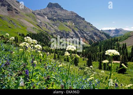 Théière et fleurs sauvages de montagne, Yankee Boy Bassin, près de Ouray, Colorado USA Banque D'Images