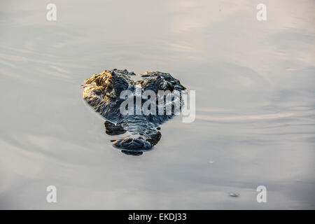 Chef d'un sinistre, Caiman Yacare Caiman crocodilus yacare, dans une rivière dans le Pantanal, Mato Grosso, Brésil, Banque D'Images