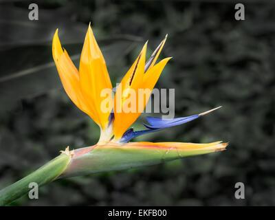 Fleur tropicale strelitzia close up, les oiseaux du paradis Banque D'Images