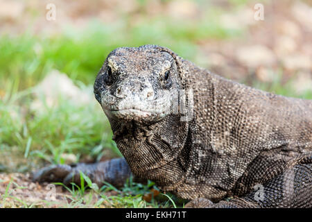 Portrait de Dragon de Komodo (Varanus komodoensis). Rinca Banque D'Images