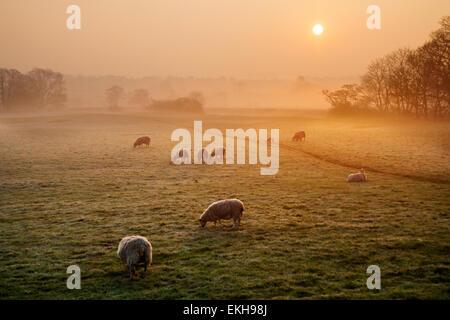 Plus d'une lueur orange, terres agricoles et frosty misty meadow, comme les moutons et agneaux se nourrissent dans Banque D'Images