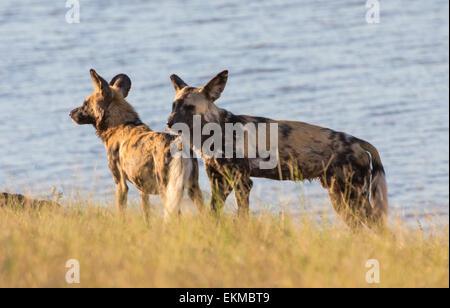 Les chiens sauvages près de la rivière Chobe, rivière Chobe National Park, Botswana Banque D'Images