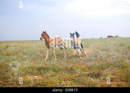 Beaux chevaux dans le champ, deux poulains de jouer et courir sur le terrain