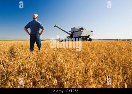 Agriculteur en champ de pois secs à maturité avec moissonneuse-batteuse dans l'arrière-plan; l'amiral Saskatchewan Banque D'Images