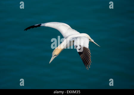 L'un d'un seul fou de bassan en vol au-dessus d'un vert-bleu azur de l'océan de la mer du Nord.