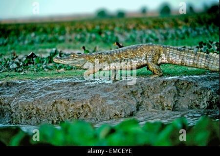 Caïmans à lunettes ou baba (Caiman crocodilus crocodilus). Banque D'Images