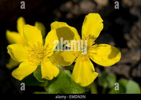 Fleurs jaune d'kingcup ou populage des marais, Caltha palustris, une plante aquatique marginal