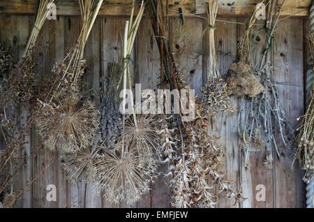 Les plantes séchées suspendus bois patiné shed Banque D'Images