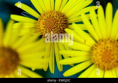 Leopard's Bane, Maranta, de l'orientale fleurs jaune