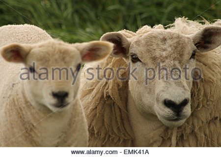 Portrait de mouton et agneau Banque D'Images