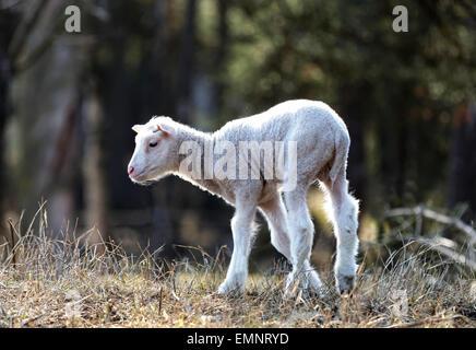 Droit naturel d'un mignon agneau seulement deux semaines la marche dans la prairie Banque D'Images