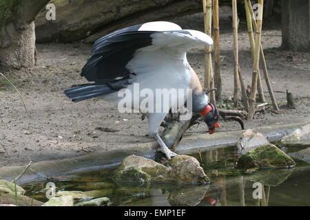 American vautour pape (Sarcoramphus papa) plier ses ailes. Des oiseaux en captivité au Zoo Burger, Arnhem, Pays Banque D'Images