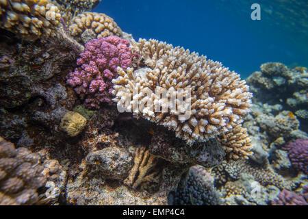 Les récifs coralliens de la mer rouge Banque D'Images