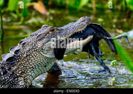 Alligator, viera wetlands Banque D'Images
