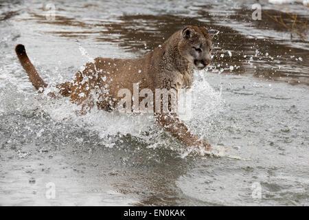 Mountain Lion (Felis concolor) traversant une rivière en hiver Banque D'Images