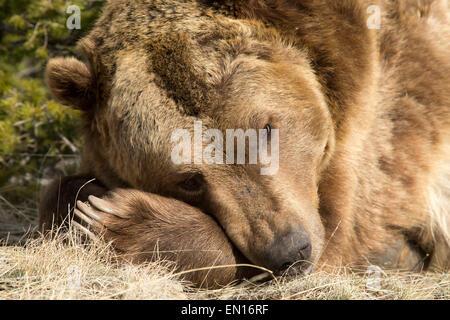 Ours grizzli (Ursus arctos horribilis) prendre un repos pendant la journée Banque D'Images