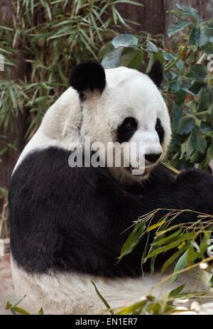 Le panda géant, Ailuropoda melanoleuca, zoo de Chiang Mai, Thaïlande Banque D'Images