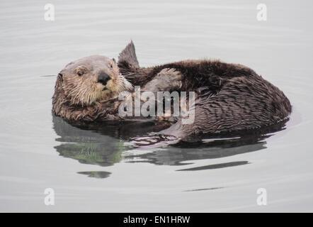 Loutre de mer (Enhydra lutris). Les loutres de mer sont l'un des plus petits de la famille des mammifères marins Banque D'Images