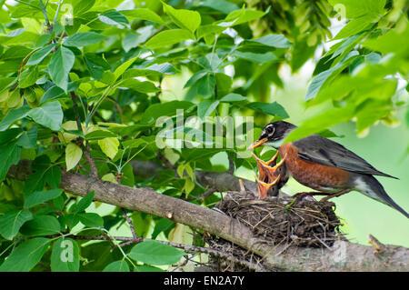Momma Robin rss oiseaux de bébé dans le nid sur la branche Banque D'Images