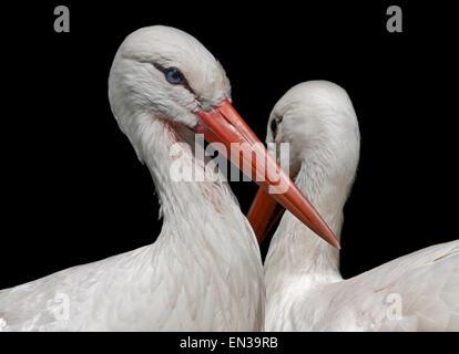 Cigognes blanches (Ciconia ciconia) Banque D'Images