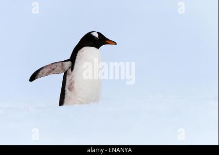 Gentoo pingouin (Pygoscelis papua), Cuverville Island, Antarctic Peninsula Banque D'Images