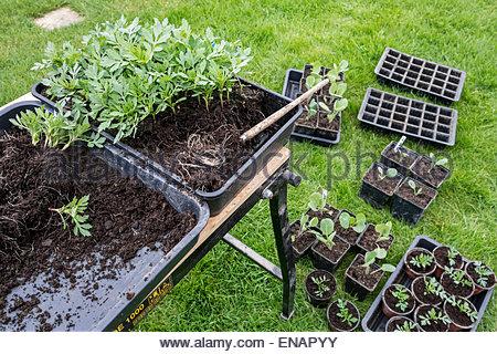 Les semis rempotage au printemps Banque D'Images