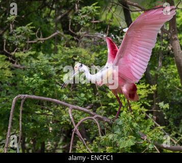 Roseate spoonbill (Platalea ajaja) avec les ailes ouvertes, île haute, Texas, USA. Banque D'Images