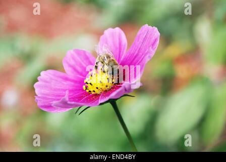 Près d'une abeille de l'extraction d'un nectar de fleurs cosmos rose contre un arrière-plan flou, naturel. Banque D'Images
