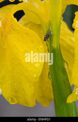 Hoverfly sur un iris jaune avec de l'eau chute après la pluie Banque D'Images