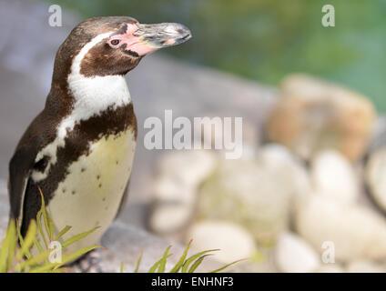 Manchot de Humboldt au Zoo de Colchester, Essex Banque D'Images