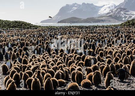 Les adultes et les juvéniles de manchots royaux (Aptenodytes patagonicus), à la colonie de reproduction à la plaine de Salisbury, la Géorgie du Sud, régions polaires