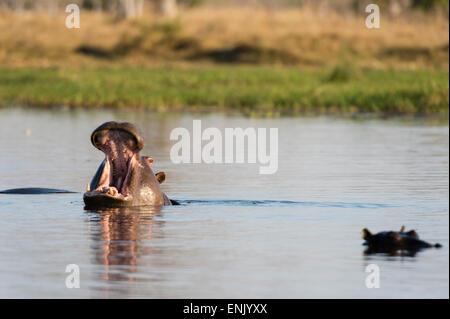 Hippopotame (Hippopotamus amphibius), concession Khwai, Okavango Delta, Botswana, Africa Banque D'Images