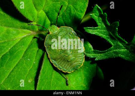 Green Shield bug, palomena prasina Banque D'Images