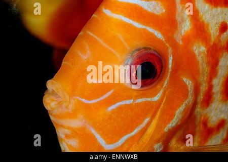 Très beau portrait de discu orange poisson.