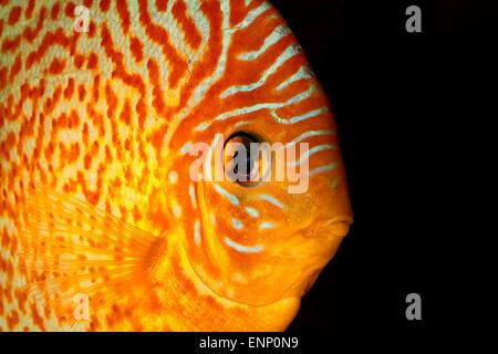 Portrait détaillé de la tête des poissons de disque orange.