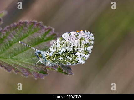 Papillon Orange-tip (mâle) au repos sur la feuille. Heyshott escarpement, Sussex, Angleterre. Banque D'Images