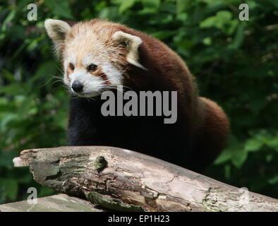 Panda rouge asiatique (Ailurus fulgens) Banque D'Images