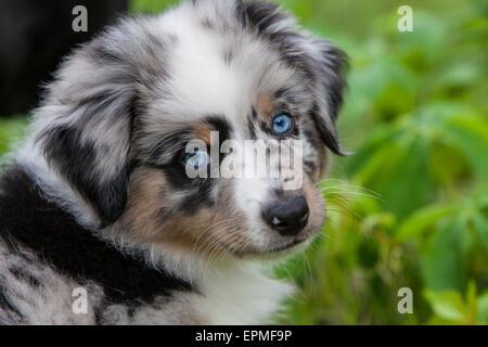 Chiots berger australien sont agiles, énergique et mature dans l'élevage d'une valeur et les chiens fidèles compagnons Banque D'Images