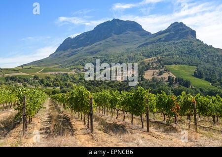 Vignoble de Stellenbosch, Cape Winelands District, Province de Western Cape, Afrique du Sud Banque D'Images