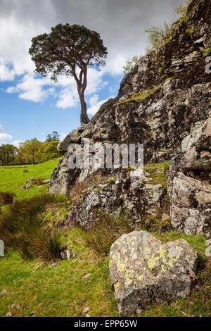 Un arbre isolé sur un éperon rocheux sur les côtes de Buttermere, Lake District, Cumbria Banque D'Images