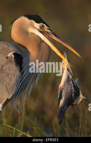 Grand Héron (Ardea herodias) avec gros poissons empalée sur son projet de loi Banque D'Images