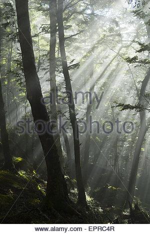 La lumière du soleil filtrant à travers les arbres sur les rives du lac Manapouri, Parc National de Fiordland, Southland, Banque D'Images