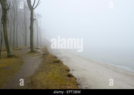 Forêt de hêtres côtières et sur la mer Baltique avec le chemin et le brouillard, Gespensterwald, Nienhagen, Bad Banque D'Images