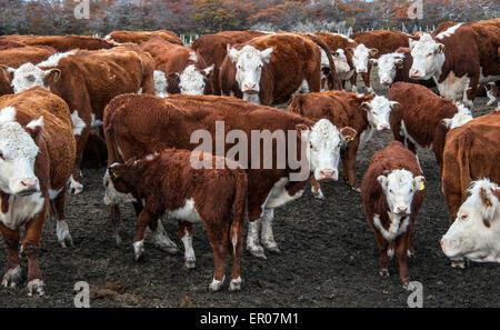 Des vaches Hereford le pâturage du bétail dans un pâturage en Patagonie