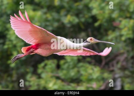Roseate spoonbill (Platalea ajaja) battant, île haute, Texas, États-Unis Banque D'Images