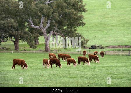 Le pâturage du bétail Hereford près de Casterton, dans l'ouest de Victoria, Australie.