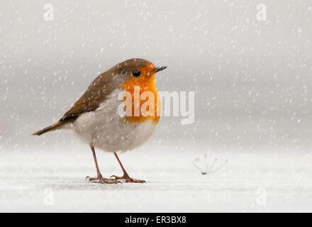 European Robin (Erithacus rubecula aux abords) dans la neige, Jersey, Channel Islands, Royaume-Uni Banque D'Images